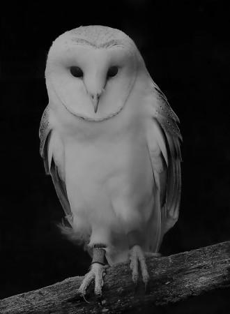 2018-19-print-rnd3-BARN OWL by Paula Titheradge