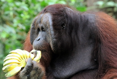 2018-19-print-rnd3-THIS IS HOW YOU EAT BANANAS IN THE WILD by Paula Titheradge
