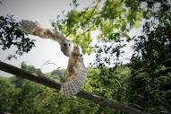 2019-20 PRINT rnd1 - BARN OWL by Paula Titheradge