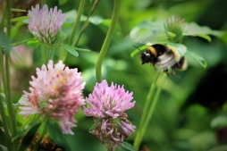 2019-20 PRINT rnd1 - BEE IN CLOVER by Paula Titheradge
