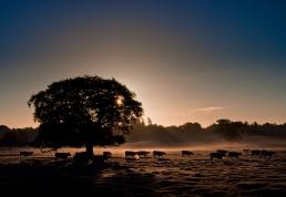 2019-20 PRINT rnd1 - EARLY MORNING BULLOCKS by Paul Holroyd