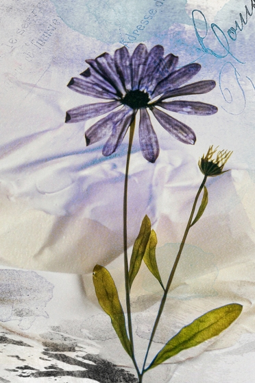 2019-20 PRINT rnd1 - SOUTH AFRICAN DAISY by Ros Wood