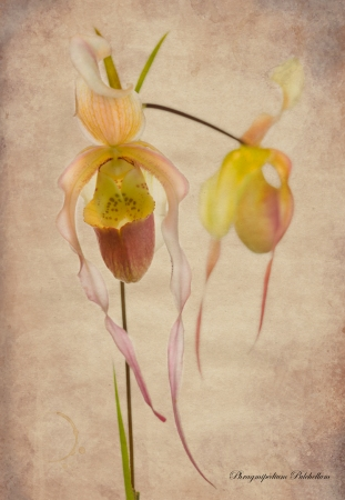 2019-20 PRINT rnd2 - VICTORIAN HYBRID ORCHID by Clive Hobbs