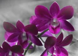 2019-20 PRINT rnd3 - ORCHIDS by Paula Titheradge
